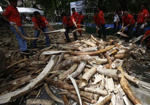 В Филиппинах уничтожили пять тонн бивней слонов