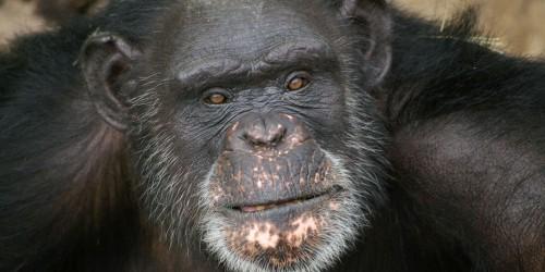 37-летний шимпанзе из США по кличке Брент, который рисует языком