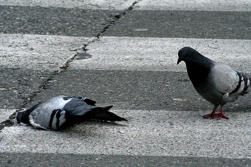 Массовая гибель голубей