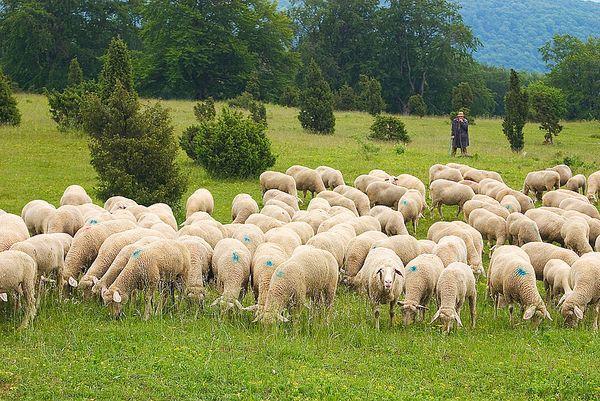 Чем выгодно разведение баранов и овец Новости Ру - информационное бюро