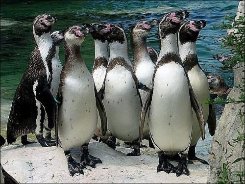 Привезенные в Англию перуанские пингвины испытывают глубочайшую депрессию