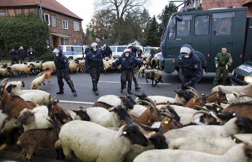 German policemen try to clear the street from sheep and goats in the village of Laase, near the interim nuclear waste storage facility in the northern German village of Gorleben, November 8, 2010. The controversial shipment of Castor containers with spent German nuclear fuel arrived in Dannenberg on Monday and will be loaded onto trucks before transportation to the nearby Gorleben intermediate storage facility in northern Germany after it left the French reprocessing plant of La Hague on Friday by train. REUTERS/Pawel Kopczynski (GERMANY - Tags: POLITICS CONFLICT ENVIRONMENT)