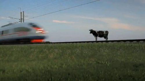 Корова и поезд